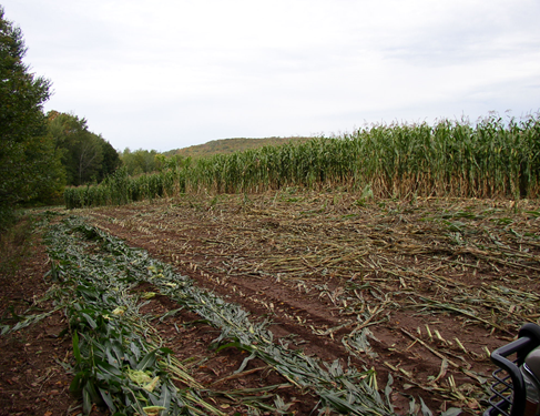Bear damage to a corn field