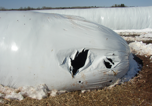 Deer damage to a silage storage