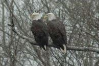 Two Bald Eagles Sitting on Tree Branch